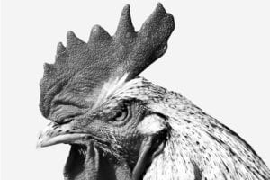 A black and white photograph of an angry rooster representing the debate on whether fried chicken should be served steaming hot or picnic warm.